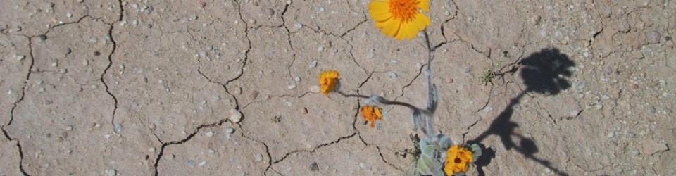 desertflower