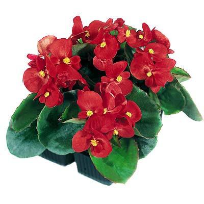 Begonia S Are The Flower Of The Day On Pentecost Sunday Point